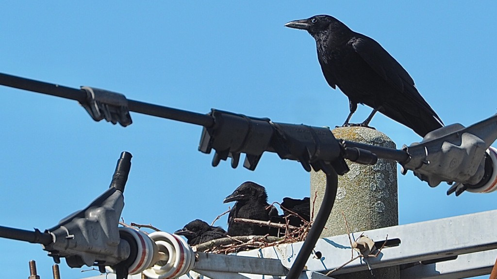 カラスの営巣による 停電事故防止のため 情報提供をお願いします