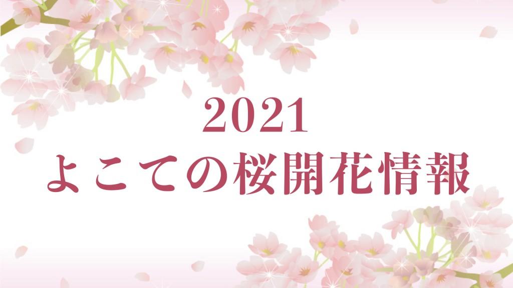 よこての桜開花情報更新中! イメージ